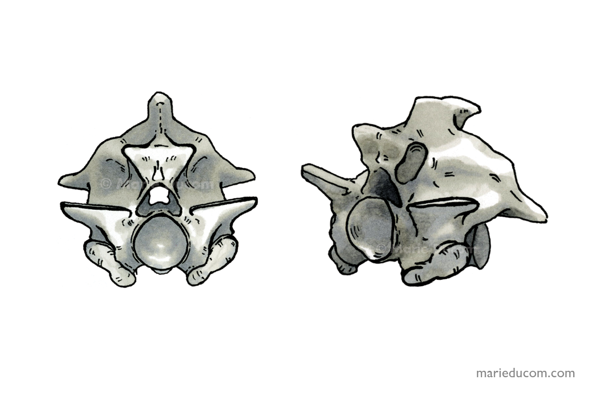 vertebrae-02-marie-ducom-2015