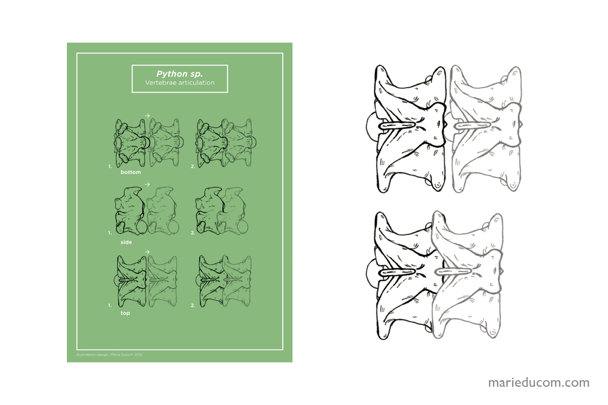 vertebrae-08-marie-ducom-2015