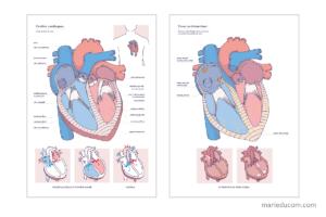heart-anatomy-01-marie-ducom-2016