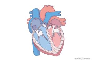 heart-anatomy-02-marie-ducom-2016