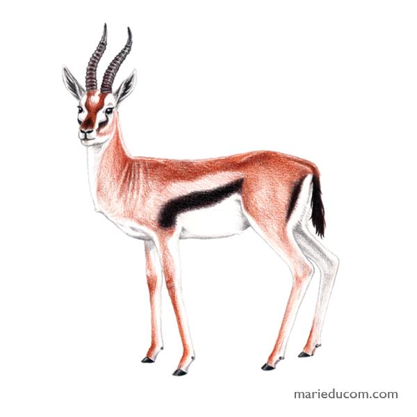 Gazelle-01-Marie-Ducom-2018