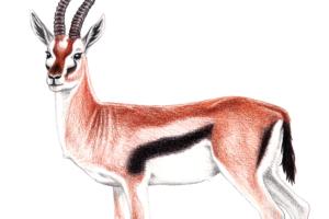 Gazelle-featured5-Marie-Ducom-2018