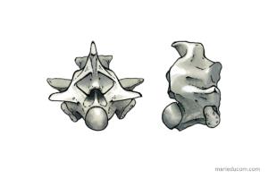 vertebrae illustrations