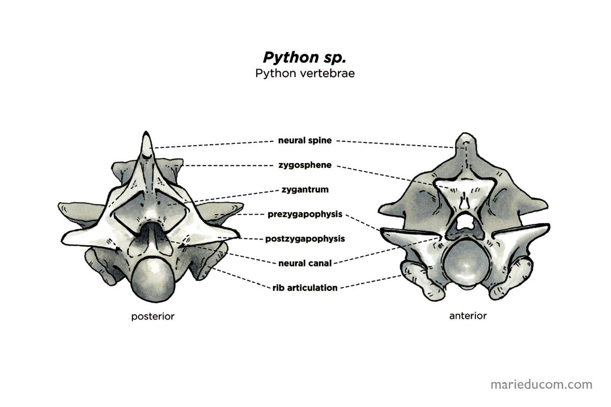 vertebrae-05-marie-ducom-2015