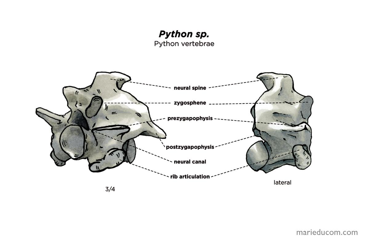 vertebrae-06-marie-ducom-2015