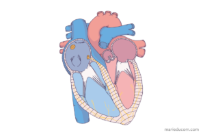 heart-anatomy-03-marie-ducom-2016
