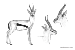Gazelle-02-Marie-Ducom-2018