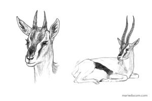 Gazelle-03-Marie-Ducom-2018