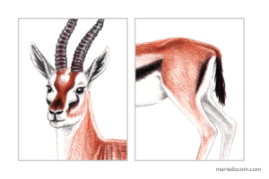 Gazelle-04-Marie-Ducom-2018