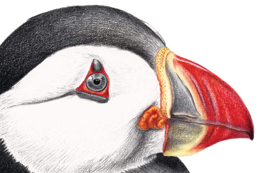 Puffin-featured1-Marie-Ducom-2018